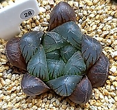 쿠페리 트런카타 28|Haworthia cooperi