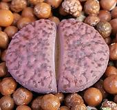 고급리톱스 루브로세우스 C393A  수입들어온많이없는품종입니다 918 산아래다육이|Lithops