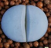 리톱스 백곡옥 수입들어온많이없는품종입니다  921 산아래다육이|Lithops