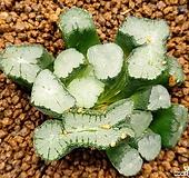 불사조만상321-0921|Haworthia maughanii