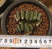옥선(실생)x922|Haworthia truncata