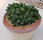 4하월시아 수 ㆍ화분포함|haworthia
