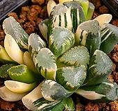 만상 교배 금(万象 交配錦)-06-11-No.440|Haworthia maughanii
