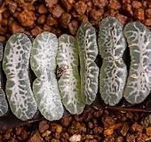 특백 옥선 특선(特白 玉扇 特選)-06-11-No.1172|Haworthia truncata