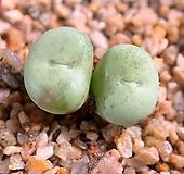 C. pageae 파가에대형종|