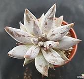웅구아쿨라타9108|Echeveria unguiculata
