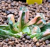 귀품종)레드드레곤 만상금(2두 ;뿌리조금나옴)306|