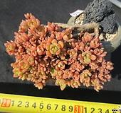 자연목질 에오니움 소형종 578 