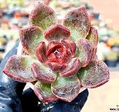 흑장미 14-112|Echeveria Black Rose