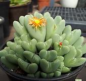 축전 Conophytum bilobum