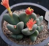 축전 3 Conophytum bilobum