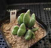 축전32 Conophytum bilobum