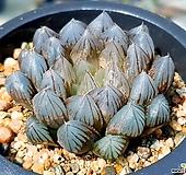 블랙옵투사 98-10|Haworthia cymbiformis var. obtusa