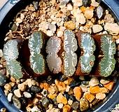 운택옥선 98-12|Haworthia truncata