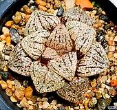 오쿠보픽타 98-32|Haworthia picta