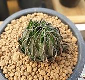 하월시아Nx928|haworthia