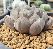 하월시아쿠페리x928|haworthia