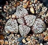 특모자이크픽타(중묘) 99-2|Haworthia picta