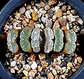 운택옥선 100-5|Haworthia truncata