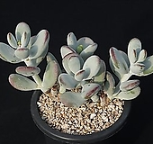방울복랑 209-465|Cotyledon orbiculata cv