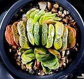 그린옥선 100-30|Haworthia truncata