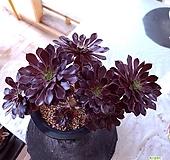 피그미쵸코렛3611 Aeonium Pygmy