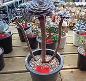 캐시미어 Aeonium Velour