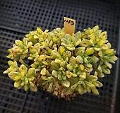 린들레이금143 Aeonium Lindleyi