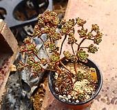 소인제 641001 Aeonium sedifolius
