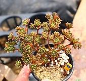 소인제 051001 Aeonium sedifolius