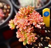 소인제금 091001 Aeonium sedifolius