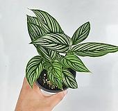 비타타 칼라데아 공기정화식물 수입식물 한빛농원|