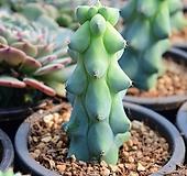 용비|Myrtillocactus geometrizans cv. fukurokuryuzinboku