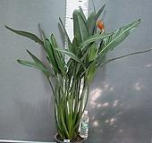 꽃피는극락조 한뿌리5촉 특대품81번-세엽 원종극락조-뚜꺼운잎-동일품배송  