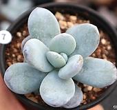 울리카테카바나 1013-07|Pachyphytum Cuicatecanum
