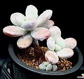 울리카테카바나 25-298|Pachyphytum Cuicatecanum