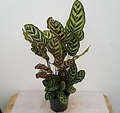 칼라데아마꼬야나(70cm)|
