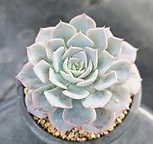 양로 2908|Echeveria peacockii subsessilis