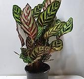 칼라데아 마꼬야나 /동일품배송 (잎상태최고)|