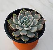 핑크자라고사(1018) Echeveria mexensis Zaragosa