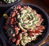 원종자라고사 261019 Echeveria mexensis Zaragosa