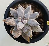 토리마넨시스|Echeveria tolimanensis
