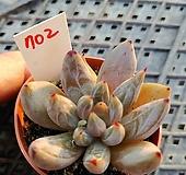 웅구아쿨라타702|Echeveria unguiculata
