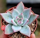 화이트 콜로라타|Echeveria colorata