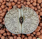 리톱스 슈도 사이즈좋은대형종입니다  1080 산아래다육이|Lithops