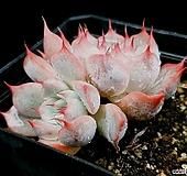 핑크자라고사 29-88 Echeveria mexensis Zaragosa