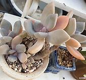 3371 화분포함 석연화|Pachyveria Pachyphytodies