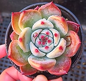 콜로라타102048|Echeveria colorata