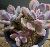 울리카테카바나 1021-1077|Pachyphytum Cuicatecanum