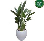 꽃피는 극락조 대형 관엽 흰색원형완성분 인테리어식물 감사화분 호텔로비식물 